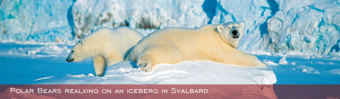 Polar bears relaxing on the in the snow at Spitsbergen
