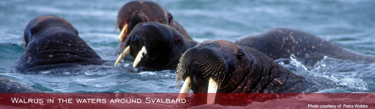 Walrus in the waters around Svalbard